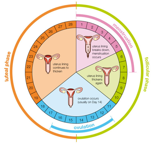 Pie chart depicting the female reproductive cycle